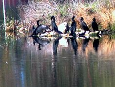 The Cormorants are drying off after a fishing expedition on Lake Victoria, Maryborough.