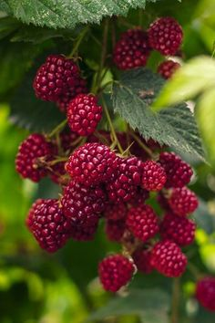 Raspberries to pick.