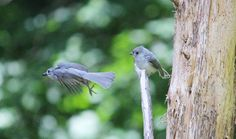 Baby titmouse screamed for food.  Mom brought her food and then flew off to get more.  The minute baby gets food in her mouth, she is nice and quiet and happy.