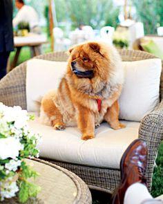 Martha's chow, Genghis Khan, gets comfy at a wedding reception