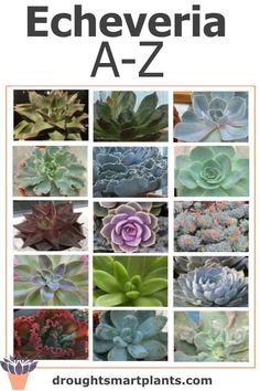 Echeveria from A to L Types Of Succulents Plants, Growing Succulents, Succulents In Containers, Cool Plants, Cacti And Succulents, Planting Succulents, Echeveria Afterglow, Echeveria Imbricata, Succulent Names