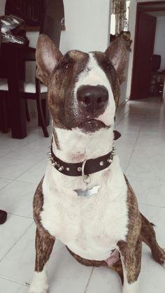 #Orión #BullTerrier