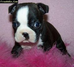 Miniature Boston Terrier Puppies Texas Here is why I PawSitively love Boston Terrier