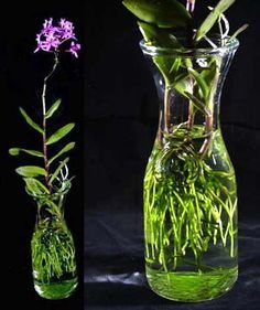 「grow orchids in water」の画像検索結果 Water Culture Orchids, Orchids In Water, Water Plants, Garden Plants, Orchid Terrarium, Terrariums, Mini Orquideas, Inside Plants, Growing Orchids