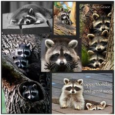 Cute, mischievous .. adorable raccoons  ✨