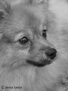 Dog / Pomeranian Pet /Art & Prints