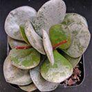 Adromischus clavifolius