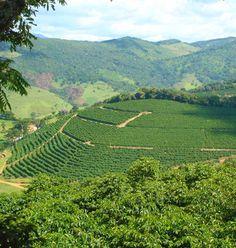 Brazilian coffee plantation.