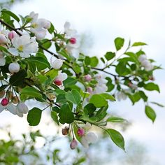 Trace Of Pink - Guelph Ontario Canada #art #photography #blossoms #apple #appleblossoms #spring