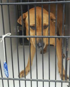 ~~EU DATE MON., 03/13/17!!~~ SEE VIDEO!!** HOUSTON - SUPER URGENT - GINGER - ID#A478663    My name is GINGER    I am a spayed female, red and white Labrador Retriever mix.    The shelter staff think I am about 2 years and 1 month old.Harris County Public Health and Environmental Services. https://www.facebook.com/harriscountyanimalshelterpets/videos/1453507641379696/