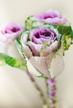 Peter Rabbit wedding Ornamental Cabbage leaves made to look like roses? Flowering Kale, Rabbit Wedding, Ornamental Cabbage, Flower Identification, Cabbage Roses, Cabbage Leaves, Rose Cottage, Winter Garden, Green And Purple