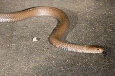 Mozambique Spitting Cobra - Google Search