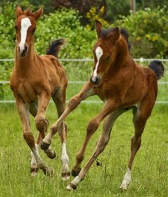 Playful horses on a farm. Baby animals are always cute, especially colts!