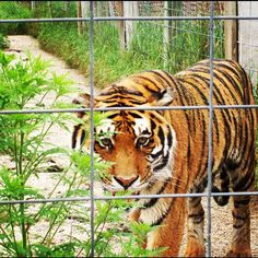 I took this photo at a zoo. Beautiful tiger <3 I love this photo, so, so much.