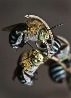 29 Best Australian Native Bees And Bee Hotels Images Bees Bee