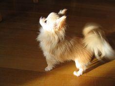 Long Coat Chihuahua~ #chihuahua