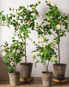 Surrey Rose Potted P