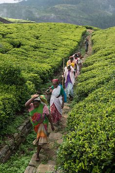 Tea plantations, Sri Lanka #VisitSriLanka