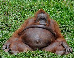 """Orangutan:  """"I need to operate this hernia...""""sort of looks like me taking a nap"""