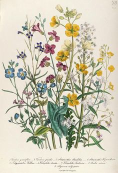 Forget-me-nots And Buttercups, Plate 13 From The Ladies Flower Garden, Published. Forget-me-nots And Buttercups, Plate 13 From The Ladies Flower Garden, Published 1842 Colour Litho Poster by Jane Loudon. Illustration Blume, Illustration Botanique, Garden Illustration, Vintage Botanical Prints, Botanical Drawings, Vintage Flower Prints, Botanical Flowers, Botanical Art, Poppy Flowers