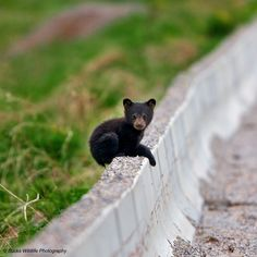 Over the Wall, photo by Buck Shreck. This image was taken in B.C. Canada trying to cross the road to where is mother was …. was having trouble getting over the road barrier …….. Took several times before he made it and when he did he just sat there like you see him in the image for about 5 minutes, till he started balling for mom, whom came back across the road to get him immediately.
