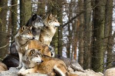 *** Pack of wolves *** wallpaper