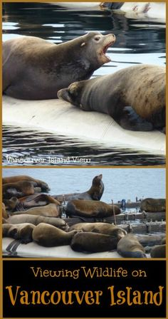 Wishing to spot some sea life while on Vancouver Island? This is the best spot for viewing sea lions on Vancouver Island! Viewing Wildlife, Western Canada, Small Island, Vancouver Island, Travel And Leisure, Capital City, Wanderlust Travel, British Columbia, Travel Usa