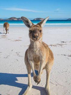 Lucky Bay near Cape Arid,Western Australia http://what-do-animals-eat.com/kangaroos/ #kangaroo #australiatravel