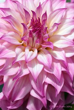 ~~Pink and White Curves Ahead!   Colorado Classic Dahlia macro - informal Decorative, mixed pink and white wavy petals that flow back to the stem. This variety produces amazing cut flowers due to its long unadulterated stems   by Robin Evans~~