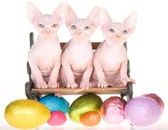 cute cat picture of three Sphynx cats sitting in front of a row of Easter eggs #cats #kittens #animals #pets #easter #cute