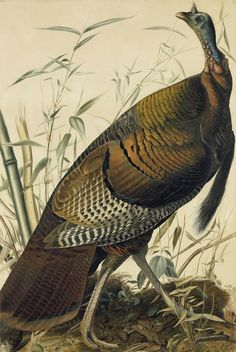 an analysis of wild turkey Turkey pest management evaluation project coordinator:  sparrows are the most common wild birds found in poultry houses, however, it is not uncommon to.