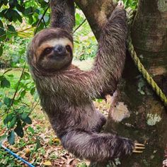 The newest sloth at KSTR came in missing his nose. His second day here we are testing his ability…