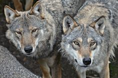 Eurasian wolves (canis lupus lupus) by sisterofthewolves