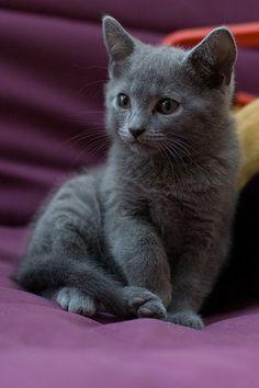 Cute Russian Blue Kitten