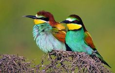 European Bee-eaters, (Merops apiaster), in Diyarbakır, Northern Kurdistan, Turkey.Date16 October 2011. Photo Credit :Dûrzan cîrano