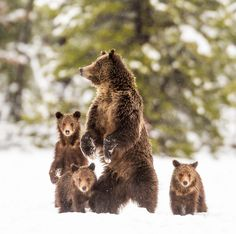 Grizzly Family by Troy  Harrison - Photo 117116601 - 500px