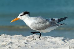 https://flic.kr/p/Eijor5 | Royal Tern | Naples