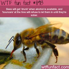 33 Funny and Hilarious Animal Memes That Will Make Anyone Have a Great Day - bees can get drunk wtf fun facts WTF Facts - Funny, interesting, and weird facts The Fun Web 62 Of Today's Freshest Pics And Memes Venovo: Designs & Collections. Wow Facts, True Facts, Funny Facts, Random Facts, Fun Facts Weird, Strange Facts, Crazy Facts, Interesting Facts About Animals, Random Animal Facts