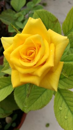 Yellow Rose Beautiful Roses, Beautiful Flowers, Beautiful Images, Rose Flower Pictures, Rose Reference, Rosa Rose, Colorful Garden, Sugar Flowers, Flowers Nature