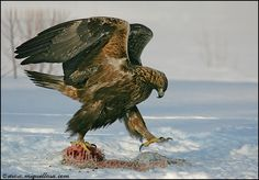 Golden eagle: Photo by Photographer Miguel Lasa