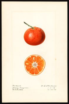 Charles Steadman, 1919, Tangerine, USDA watercolor collection