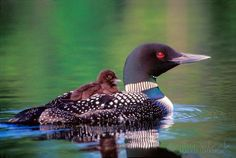 Loons carry their babies on their backs like this, and it is ADORABLE.