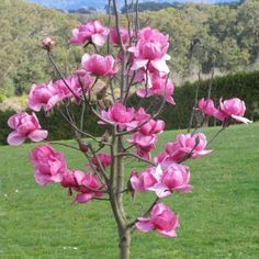 Magnolia ' Felix® ' Cold Hardiness: Zone Flowers: pink (April) Size: Light: sun-part shade Ikebana Flower Arrangement, Garden Projects, Planting Flowers, Plants, Tulip Magnolia, Garden Inspiration, Trees For Front Yard, Big Flowers, Flowering Trees