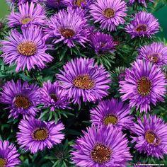 Aster Purple Dome, Aster novae-angliae, New England Aster