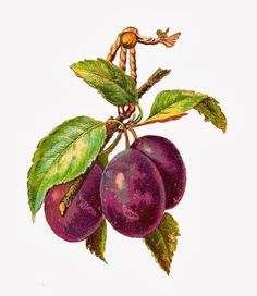Antique Images: Free Fruit Clip Art: 3 Plums on Branch and Leaves Hanging from Rope