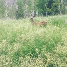 My dad called this doe in after it ran away. Getting ready for the bowhunt this fall. #bowhunter #doe #muledeer #utah #hunt #fawn #deer #blackhawkhuntingandfishing #blackhawk #blackhawkfishinhandhunting #bow http://misstagram.com/ipost/1555450294367440964/?code=BWWEc01jFBE