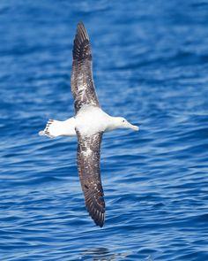 Wandering Albatross Diomedea exulans - Google Search