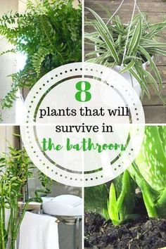 8 plants that will survive in the bathroom.