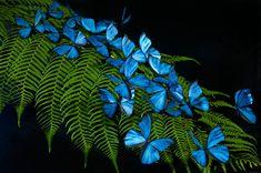 blue butterflies   Blue morpho butterfly replicas photographed on a beautiful fern