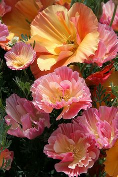 California Poppy 'Rose Chiffon' and 'Apricot Chiffon' - This pretty wildflower is a gift that keeps on giving and giving. The seed pod bursts towards the end of summer, seeds scatter and happily germinate the following spring.